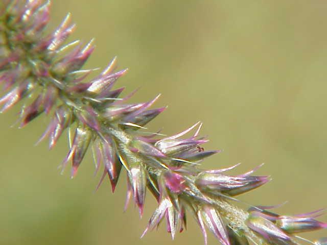 achyranthes aspera - uf  ifas assessment