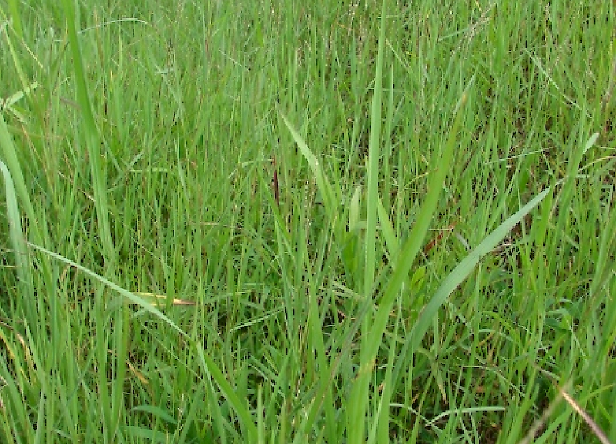 digitaria abyssinica - uf  ifas assessment