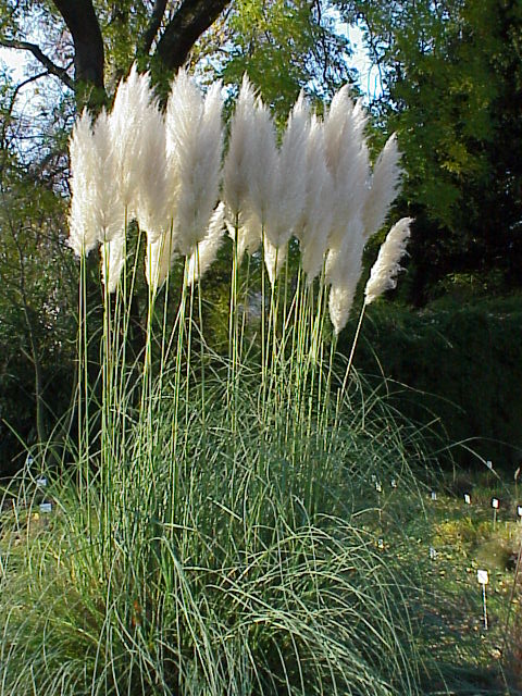 cortaderia selloana uf ifas assessment university of florida institute of food and