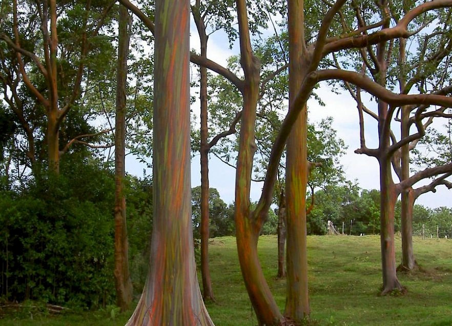 Eucalyptus Deglupta Uf Ifas Assessment University Of