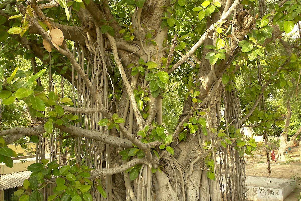 Фикус дерево фото