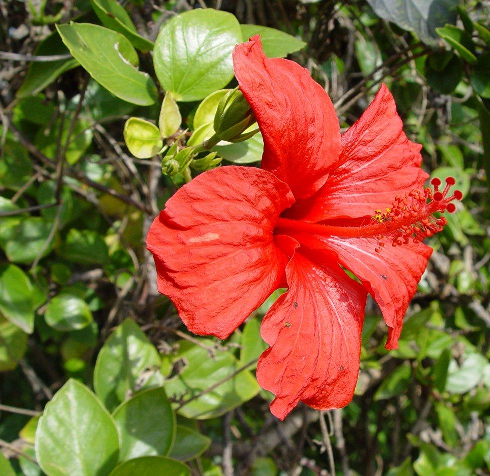 Hibiscus Rosa Sinensis Ufifas Assessment University Of Florida