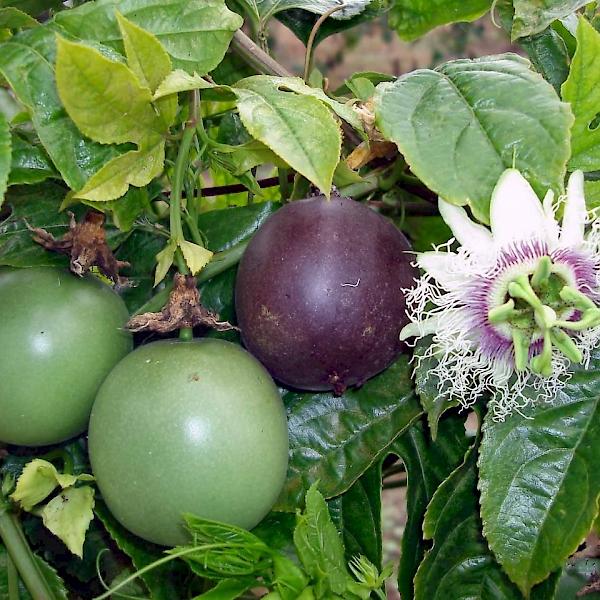passiflora edulis - uf  ifas assessment